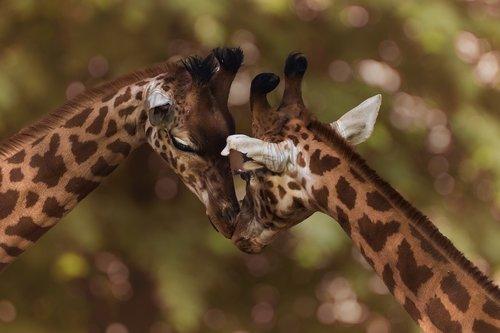zoo  giraffes  africa