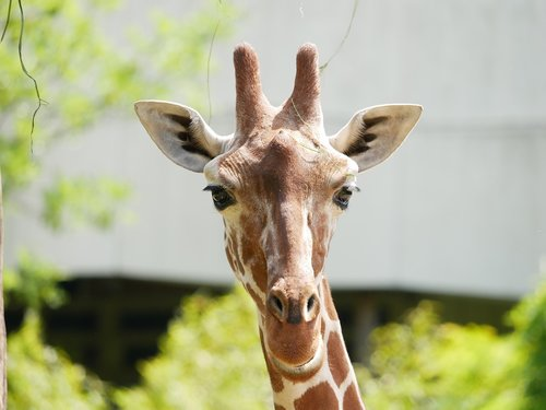 zoo  giraffe  animal portrait