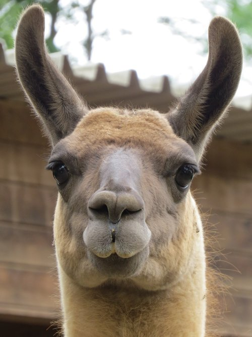 zoo  lama  animal