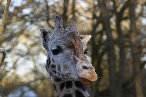 zoo  giraffe  stains