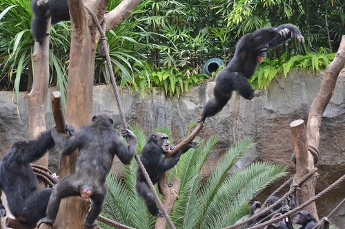 zoo  ape  young animal