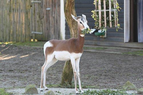 zoo  blijdorp  goat