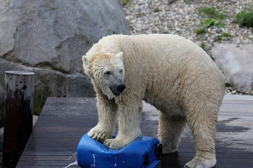 zoo  polar bear  animal world