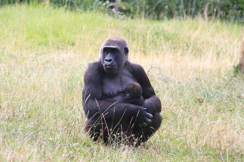 zoo  monkey portrait  ape