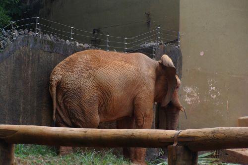 zoo elephant shy