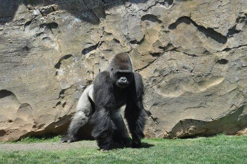 gorilla monkey silverback