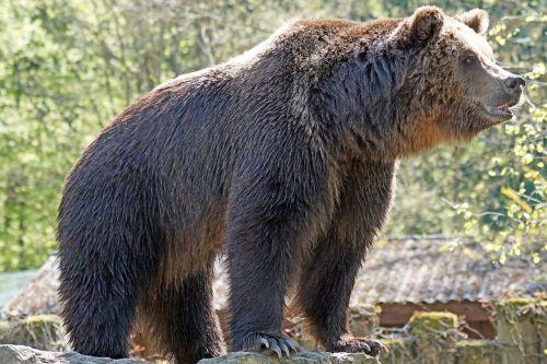 zoo brown bear posing