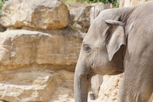 zoo elephant pachyderm