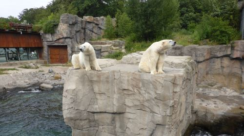 zoo hannover polar bears yukon bay