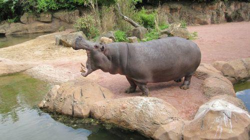 zoo hannover adventure zoo hippo