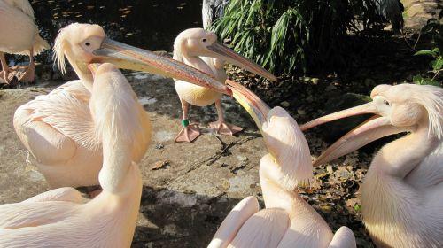 zoo hannover adventure zoo pelikan