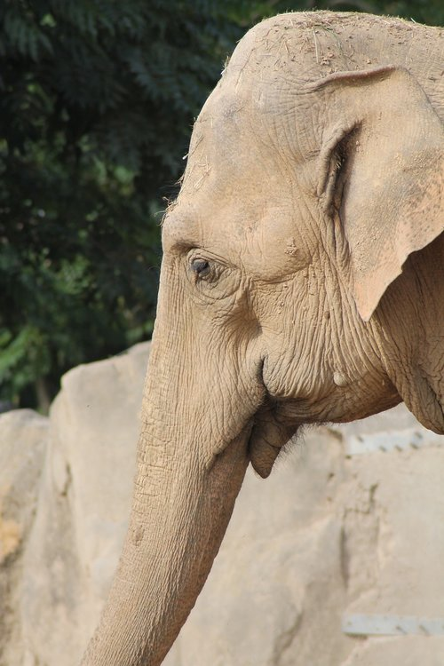 zoo krefeld  elephant  proboscis