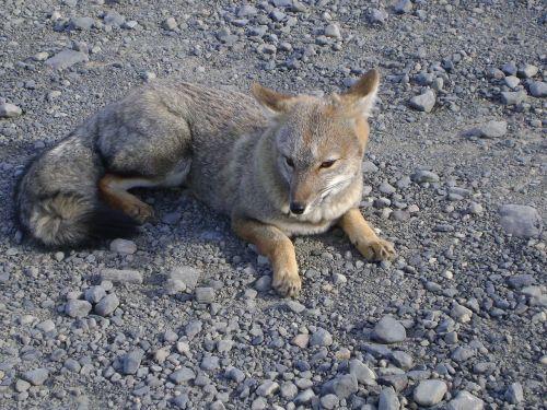 fox chilean patagonia torres del paine