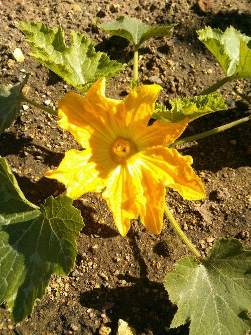 zucchini garden yellow