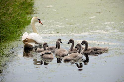 3 Swans