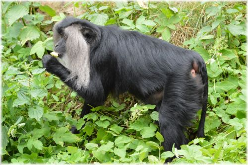 Lion-tailed Macaque 1