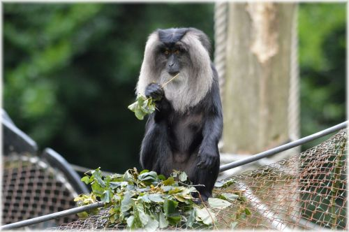 Lion-tailed Macaque 2