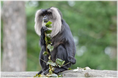 Lion-tailed Macaque 5