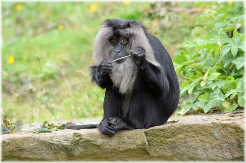 Lion-tailed Macaque 6