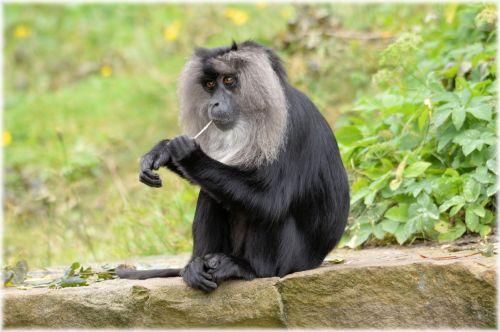 Lion-tailed Macaque 7