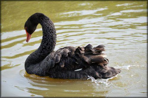 e-kortelė, vanduo, gulbė, juoda, baletas, gamta, gyvūnas, serijos, vandens & nbsp, šokis, juodas gulbių serijos 1 vandens baletas