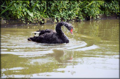 e-kortelė, vanduo, gulbė, juoda, baletas, gamta, gyvūnas, serijos, vandens & nbsp, šokis, juodas gulbių serijos 2 vandens baletas 7